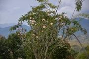 Plumeria/Frangipani tree.